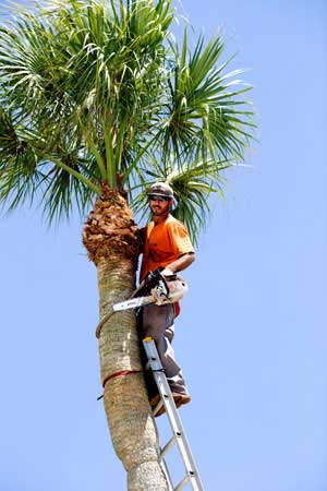 Palm Tree Trimming photo